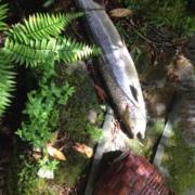 Pesca de salmón