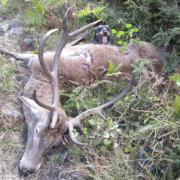 Venado y teckel en un coto de caza en Piloña, Asturias