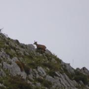 Rebeco en reserva de caza en Asturias