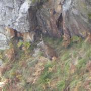 Venado en reserva de caza en Piloña, Asturias
