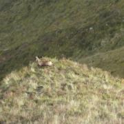 Rebeco en reserva de caza en Piloña, Asturias