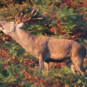 Venado en reserva de caza en Asturias