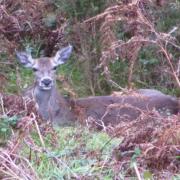 Venada en reserva de caza en Asturias