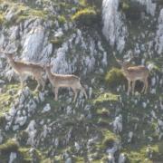 Caza Mayor Gamos en Asturias