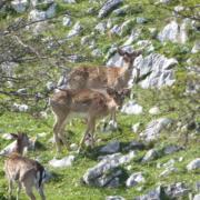 Rececho de Gamo en Asturias